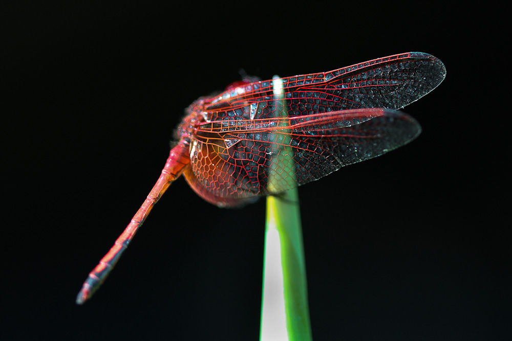 Red Veined Darter Dragonfly