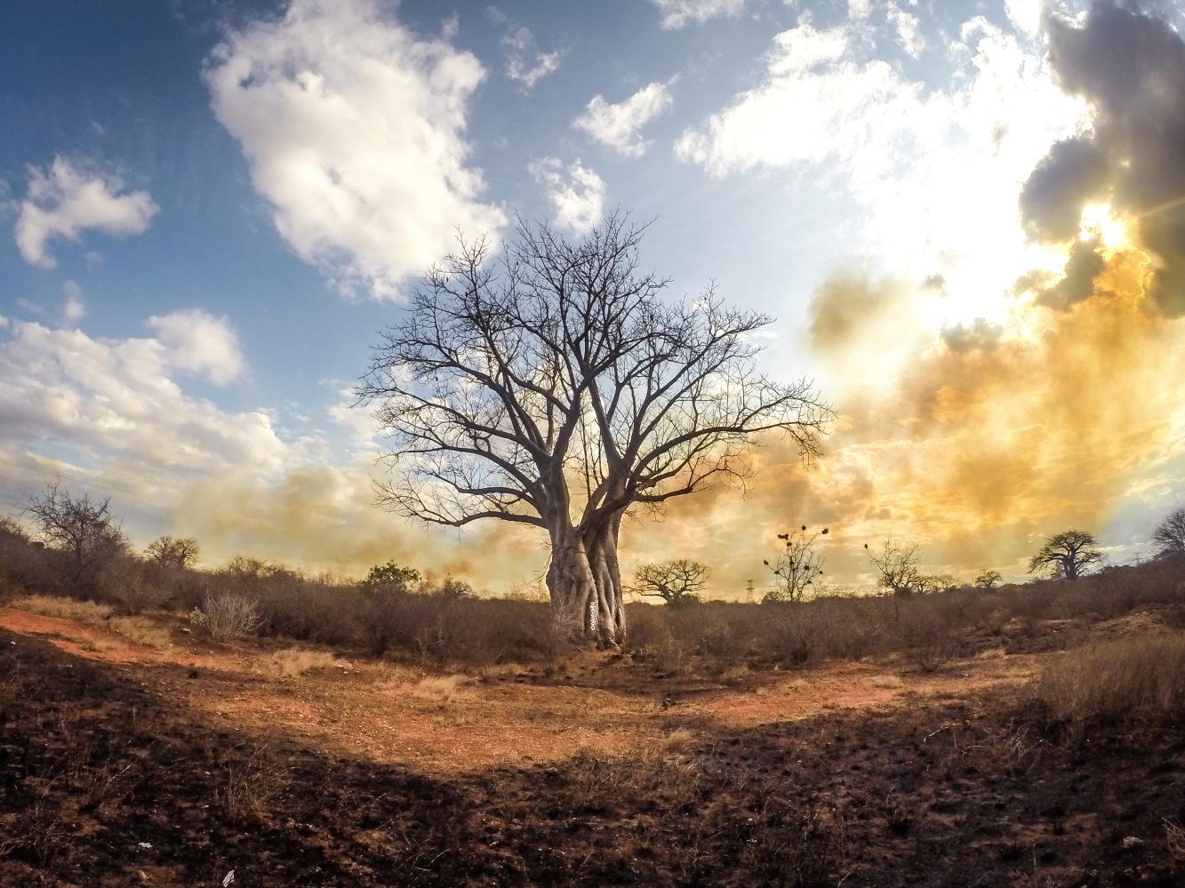 Baobab escapes the bushfire, Tsavo, Kenya