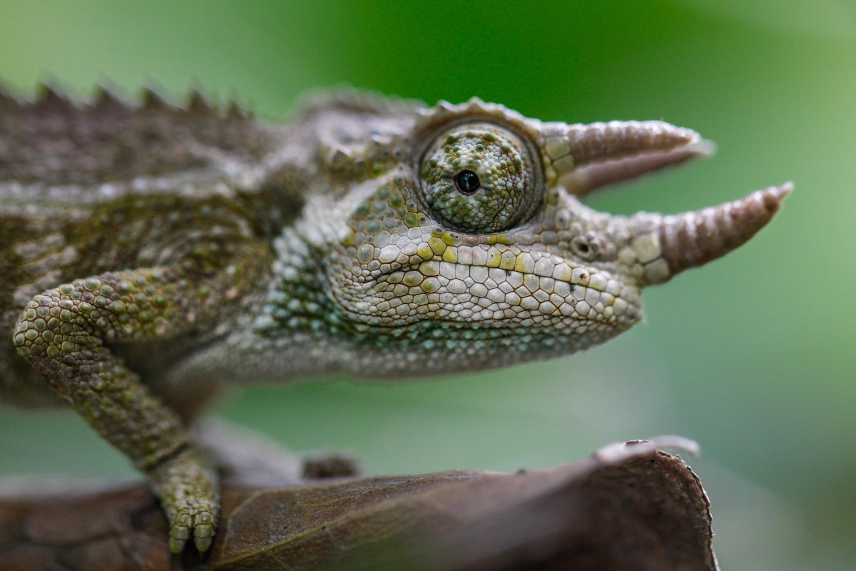 chameleon-3903